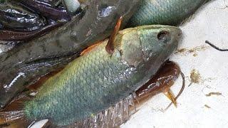 Amazing Fishing | Bangladeshi Local Fish Catching Using Net Trap