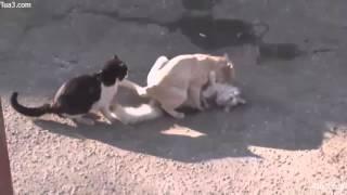 Mating10 - Cat Mating Success