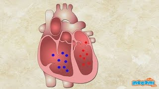How does the Heart Work? Human Body Science for Kids | Kids Education by Mocomi