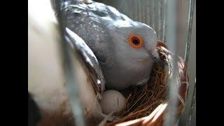 Silver Dove Birds Best Progress In Colony   Urdu/Hindi   By Lodhi Birds