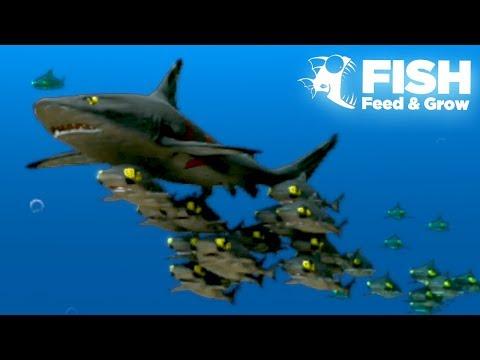 Xxx Mp4 THE GIANT SHARK SHOAL Fish Feed Grow 21 3gp Sex