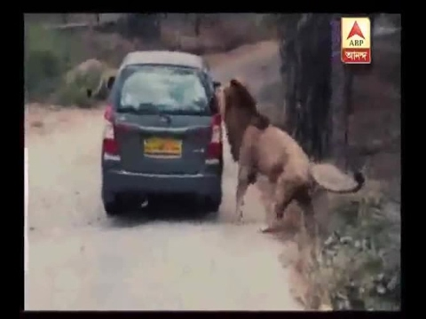 WATCH: When a lion 'attacked' a car in Karnataka's Bannerghatta National Park