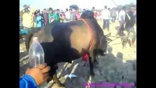 Sylhet Bull Fight Bolaura ( jubel touch ) 2015