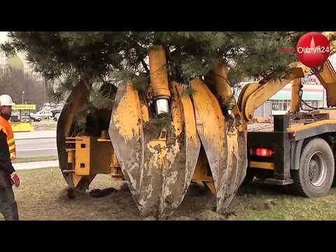 OLSZTYN24 Przesadzanie drzew w Olsztynie