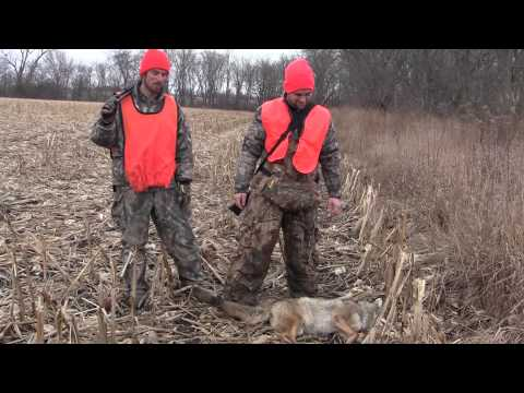 Professional Interview and Mature Coyotes