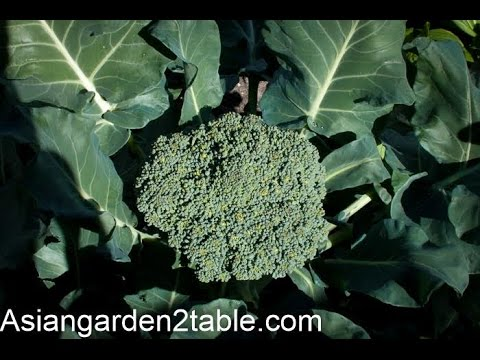 Xxx Mp4 How To Grow Broccoli With Big And Tight Flower Head 3gp Sex
