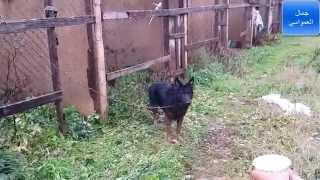 كلاب الراعي الالماني والهسكي مع جمال العمواسي