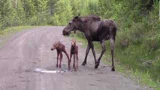 Moose Attacks pickup truck