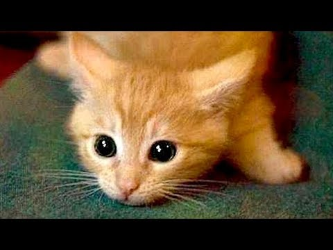 Are ORANGE CATS the FUNNIEST CATS Super FUNNY COMPILATION that will make you DIE LAUGHING