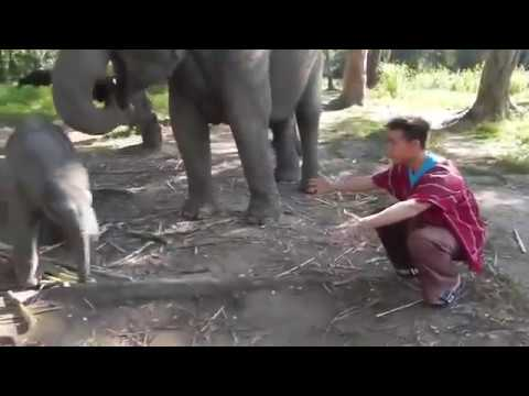 Baby Elephant Love man and want sex for hem very comedy 18+