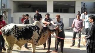 COW QURBANI IN KARACHI F B AREA BLOCK 12. by javad