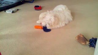 MALTESE puppy eating a CARROT!!!!!!