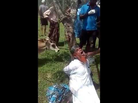 Muslim Stole Cow in Sri Lanka