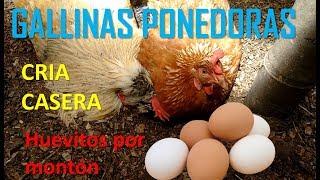 como criar gallinas ponedoras en casa