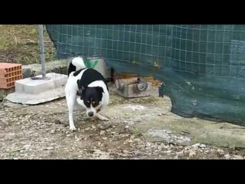 Dog fuking hen