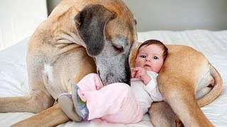 Great Dane and Baby Compilation