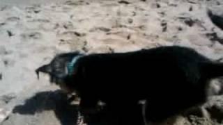 Pepper at leo carillo beach malibu driggin for gol