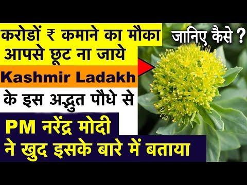 करोड़ों कमाने का मौका छूट न जाये Jammu kashmir & Ladakh में पाए जाने वाले इस अद्भुत पौधे से