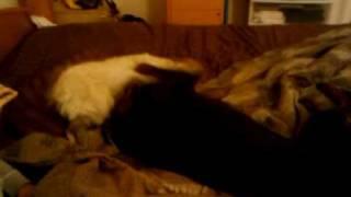 Doberman attacking a furry dog!!