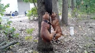 Game bred pitbulls in nj