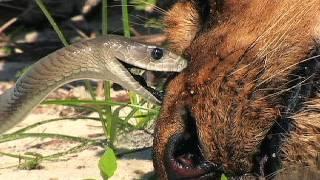 Black Mamba vs Dead Lion 05 - Snake Attacks Lion