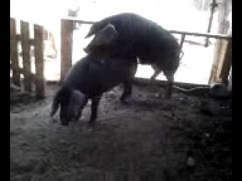 Large Black Hogs Mate.mp4