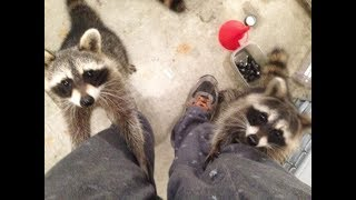 He Feeds Some Raccons Near His Home  The Next Day, He Walks Into His House And Sees Thi funny cute
