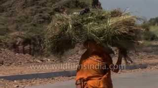Indian woman in sari carries fodder head-load in Udaipur