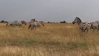 Kenya Jungle Safari: A group of Zebra