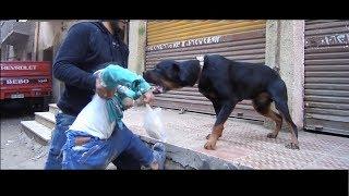 اشرس كلب روت ويلر في مصر والعالم كله