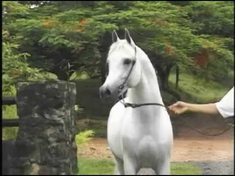 WH Don El Chall - http://www.pedegru.com/animal/don-el-chall