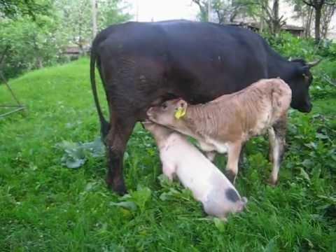 Xxx Mp4 Porcusorul Alaptat De Vaca 3gp Sex