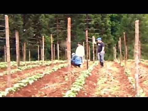 Plantação de Pepinos em Campina do Simão