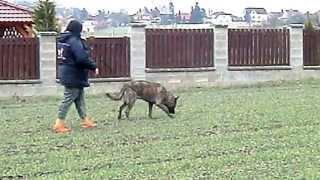Holandský ovčák Bennua Garr  Hollandse Ster :krátká stopa 10.4.2013