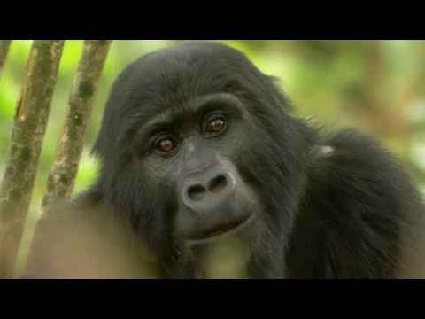 Gorilla Mating Mountain Gorilla BBC