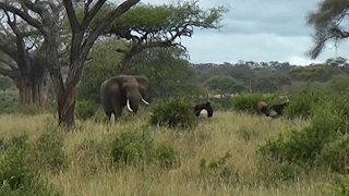 Elephant Breaks Up Ostrich Fight