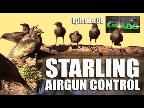 Starling Airgun Control - Airheads, episode 66
