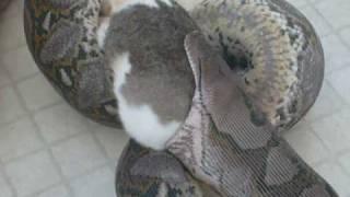 Big snake eats a big rabbit.
