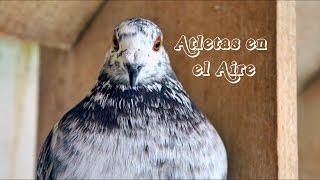 ATLETAS EN EL AIRE (2015) | UN DOCUMENTAL SOBRE LAS PALOMAS MENSAJERAS (W/ ENGLISH SUBTITLES)