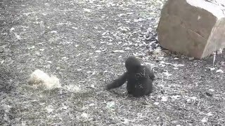 Adorable Baby Gorilla Playing and Running @ Kansas City Zoo  Too Cute!!