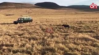 Gari la watalii lilivyozuia simba asimle kifaru Ngorongoro