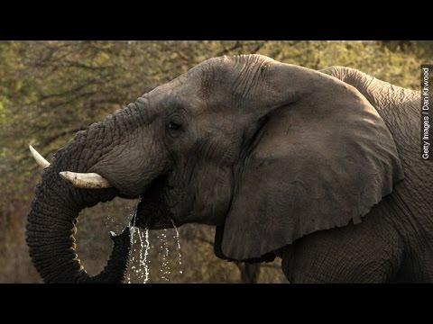 Xxx Mp4 Elephants Still In Danger Even After Queen Of Ivory Arrest Newsy 3gp Sex