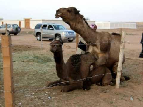 Camels making camel s