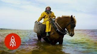 Shrimp Fishing on Horseback for 700 Years
