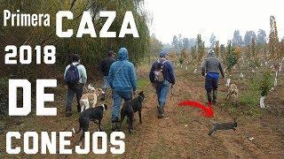 Caza De Conejos Talca 2018 | Primera Salida | Caceria Beagle Chile | Rabbit hunting with Beagle