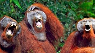You can TRY NOT TO but YOU WILL LAUGH - The BEST MONKEY videos