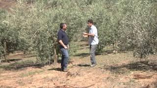 Agricultura Familiar 7 - Cultivo de azeitonas e produção de azeite em Maria da Fé