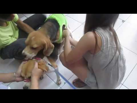 Dog Heat Cycle Beagle Stud Mating Assist Service
