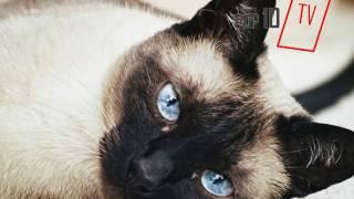 Siyam Kedisi Özellikleri ve Bakımı (siamese cats)