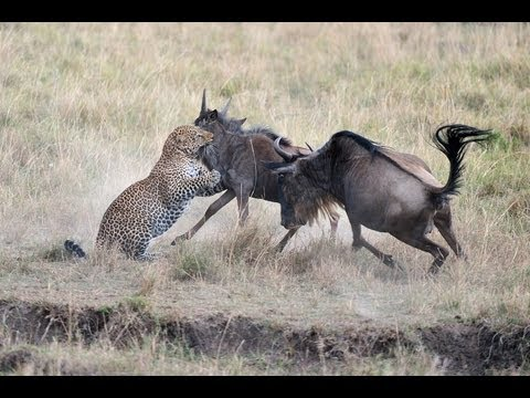 Incredible Video of Mother Wildebeest Defending Young from Hungry Leopard